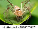 Lynx Spider The Family...