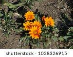 orange flowers of gazania in... | Shutterstock . vector #1028326915