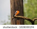 buatiful bird with orange chest ... | Shutterstock . vector #1028330194