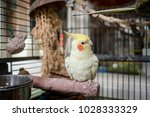 Stock photo adult male cockatiel seen perched within his opened bird cage located in a conservatory the top 1028333329