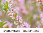 pink flowers of wild rosemary....   Shutterstock . vector #1028348359