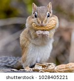 A Chipmunk With A Peanut