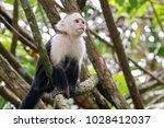White Headed Capuchin Monkey...