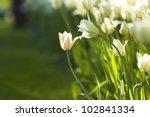 fresh white tulips sunny   Shutterstock . vector #102841334