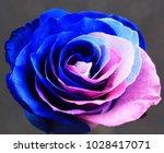 Single Multi Colored Rose