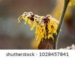 hamamelis x intermedia ' harry' ... | Shutterstock . vector #1028457841