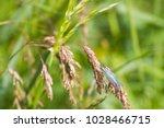 Small photo of Lacewing (carnea chrysoperla)