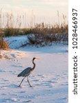 a great blue heron walks on... | Shutterstock . vector #1028466937