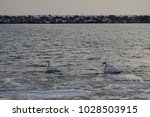swans on a lake | Shutterstock . vector #1028503915