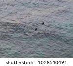two western jackdaws  coloeus... | Shutterstock . vector #1028510491