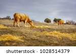 cows eating grass in the open... | Shutterstock . vector #1028514379