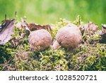 boletus or porcini fungi... | Shutterstock . vector #1028520721
