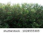 mangrove plant in ras mohammed...   Shutterstock . vector #1028555305