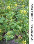 Small photo of Close up outdoor view of mustard plant, brassicaceae family. Pattern of small green leaves and yellow flowers in a field during the afternoon. Green manure