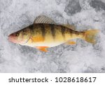 one yellow perch lying on ice | Shutterstock . vector #1028618617