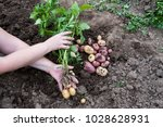 the first harvest of young... | Shutterstock . vector #1028628931