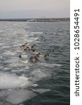 ducks on a frozen lake | Shutterstock . vector #1028654491
