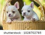 cute little french bulldog on... | Shutterstock . vector #1028702785