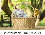 cute little french bulldog on... | Shutterstock . vector #1028702791