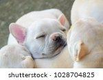 cute little french bulldog... | Shutterstock . vector #1028704825