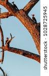 three juvenile pileated...   Shutterstock . vector #1028725945