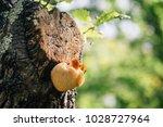rare relic tree fungus  lion's... | Shutterstock . vector #1028727964