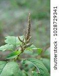 Small photo of fresh green amaranthus viridis tree in nature garden