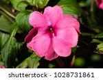 pink impatient flower | Shutterstock . vector #1028731861
