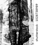 Small photo of Black and white closeup of the medium rough bark with a scab on the trunk of a tree, revealing rich organic texture.