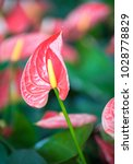 close up of pink anthurium or... | Shutterstock . vector #1028778829