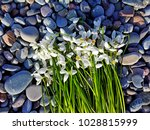 Snowdrop Flowers On Pebble...