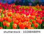 beautiful orange and red tulip... | Shutterstock . vector #1028848894