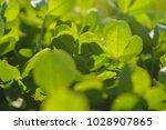 clover flooded with sun. summer ... | Shutterstock . vector #1028907865