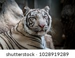 close up image of white bengal... | Shutterstock . vector #1028919289
