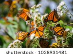monarch butterfly biosphere... | Shutterstock . vector #1028931481