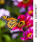 Stock photo colorful monarch butterfly feeding on a flower 102895877