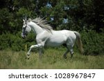 andalusian white horse... | Shutterstock . vector #1028967847