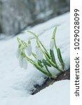 white gentle snowdrops in the... | Shutterstock . vector #1029028099