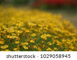 close up of yellow flowers in...   Shutterstock . vector #1029058945