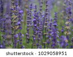 close up of blue flowers in...   Shutterstock . vector #1029058951