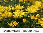 full frame of yellow flowers in ...   Shutterstock . vector #1029058969