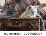 Stock photo two sweet cute maine coon kittens sitting on a plaid blanket in a wicker picnic basket at home 1029080029
