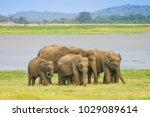 a herd of sri lankan elephant ... | Shutterstock . vector #1029089614