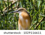 squacco heron in prague zoo ... | Shutterstock . vector #1029116611