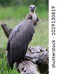 Small photo of White-backed vulture on a tree stump