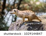 suricata looking forward in... | Shutterstock . vector #1029144847