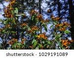 monarch butterfly biosphere... | Shutterstock . vector #1029191089