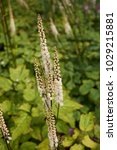 Small photo of Actaea racemosa var. cordifolia inflorescence