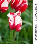 estella rijnveld tulip on a... | Shutterstock . vector #1029221575
