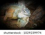 iguana on the ground in dark... | Shutterstock . vector #1029239974